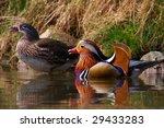 A Couple Swimming Mandarin Ducks