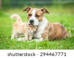 Stock photo friendship of american staffordshire terrier dog with little kitten 294467771