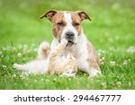 Stock photo american staffordshire terrier dog playing with little kitten 294467777