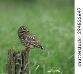 little owl  athene noctua ... | Shutterstock . vector #294822647