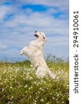 Golden Retriever Dog Jumps Up...
