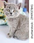 Stock photo cute gray kitten with chamomiles closeup 294937841