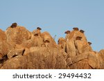 Rock Hyrax In South Africa