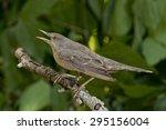barred warbler  sylvia nisoria  | Shutterstock . vector #295156004