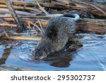 Australian native water rat