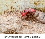 Small photo of FAMILY PYRRHOCORIDAE AND LARGIDAE: RED BUGS, RED STAINERS, GIANT RED BUG