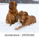 French Mastiff  Bordeaux Bulldog