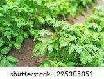 Field Of Green Potato Bushes.