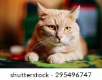 Stock photo peaceful orange red cat male kitten lays on carpet on floor at home 295496747