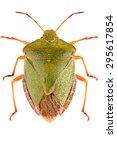 The Green Shield Bug Palomena...