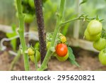 Rows Of Tomatoes In A...