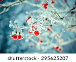 Red Berries Of Viburnum With...