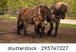 North Swedish Draft Horses In...