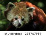 Small photo of Western red panda (Ailurus fulgens fulgens). Wildlife animal.