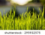 Soft Focus Natural Green Grass...