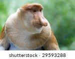 A Rare Proboscis Monkey In The...
