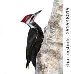 Pileated Woodpecker On White...