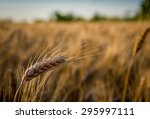Ears Of Wheat Ripening In The...