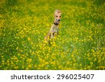 funny dog running on the green... | Shutterstock . vector #296025407