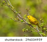 Small photo of American yellow warbler perched on a branch