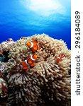 Western Clown Anemone Fish