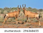 Two Red Hartebeest Antelope