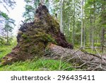 Upprooted Spruce Tree In The...