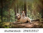 Stock photo jack russell terrier and a pit bull in the forest 296515517