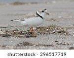 Piping Plover Standing On The...