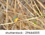 kingfisher  alcedo atthis  | Shutterstock . vector #29666005