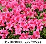 Azalea  Pink Azalea Flower...