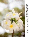the plumeria | Shutterstock . vector #296746835