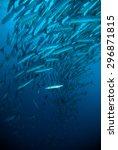 mackerel barracuda kingfish... | Shutterstock . vector #296871815