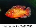 Small photo of The African jewelfish (Hemichromis bimaculatus) In aquarium