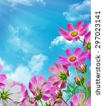 Cosmos Flowers On A Background...