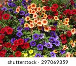 Calibrachoa Flowers Colorful Mix