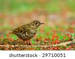 White's Ground Thrush (Turdus dauma) - stock photo