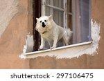 White Pure Bred Small Dog...