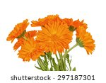 calendula flowers isolated on...   Shutterstock . vector #297187301