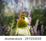 Bumblebee On A Coneflower In A...