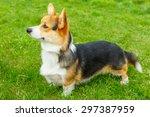 Dog Pembroke Welsh Corgi Breed...