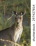 eastern grey kangaroo macropus... | Shutterstock . vector #297427814