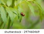 Ladybird Beetles Mating