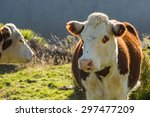 Hereford Cows And Calf In...