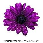 Purple Osteospermum Daisy Or...