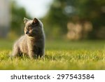 Stock photo adorable small kitten on the walk during sunset british blue cat 297543584