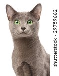Portrait of a russian blue cat - stock photo
