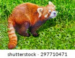 Red Panda In Its Natural...