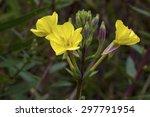 Yellow Evening Primrose ...
