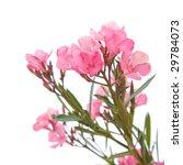 Bright Pink Oleander Flowers ...
